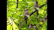 Венета Цветкова - Три бюлбюла пеят