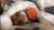 Хамстер хрупа морков