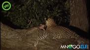 Леопард осиновява маймунка