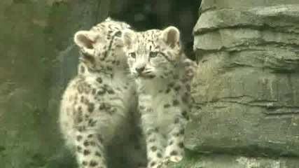 Снежният леопард малките в Marwell за дивата природа