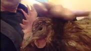 Мъркаща кокошка