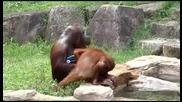 Орангутанът с най-добрата хигиена :)