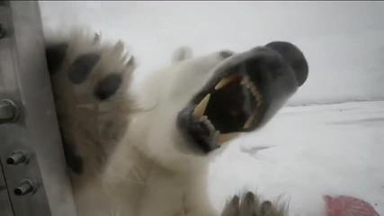 Гладна полярна мечка!