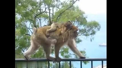Маймуна крадец
