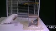 Умен папагал си прави инструменти за да се нахрани .