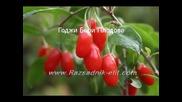 Годжи Бери Goji Berry посадъчен материал разсад фиданки резитба отглеждане садене размножаване