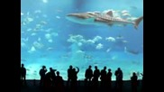 Най - Голямата Акула Отглеждана В Аквариум