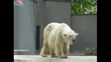 Танцуваща Бяла Мечка В Зоопарк