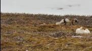 Полярната лисица