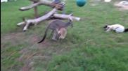 Кенгуро и лемур си играят.