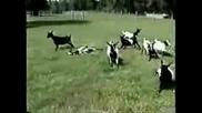 Кози - Схващат Им Се Крачетата