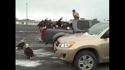Орли нападат автомобил заради риба