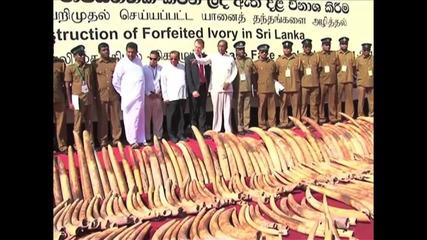 Sri Lanka: 1.5 tons of seized illegal ivory crushed in machine