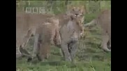 Социално поведение на лъвовете