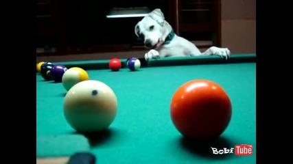 Невероятно !!! Куче играе билярд.