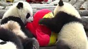 Панди в китайски зоопарк получиха подаръци за Нова година