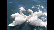 Yanni The Beauty Of Swans