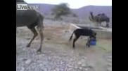 Магаре Наритва Камила В Бой За Вода