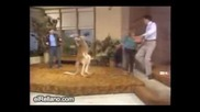 Лудо кенгуру боксьор пребива хора в ефир