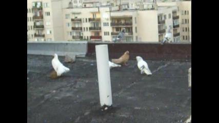 Гълъбите Мардинлии