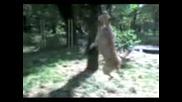 Staffordshire Terrier (Айк На Гума)