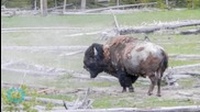 Yellowstone Rangers Warn Tourists About Bison