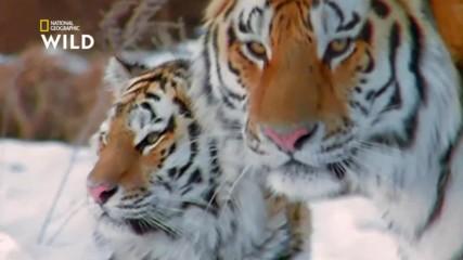 Сибирският Тигър