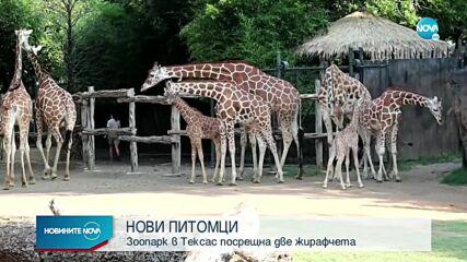 Зоопарк в Тексас посрещна две жирафчета