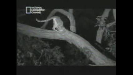 Леопард И Павиан