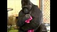 Най - грижовната маймуна Коко