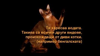 Абисинската Котка