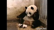 Бебе панда киха и стряска майка си