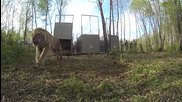 Пускане на сибирски тигри на свобода