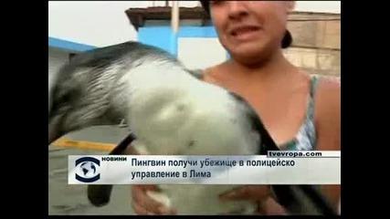 Пингвин получи убежище в полицейско управление в Лима