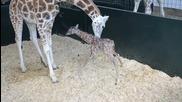 Бебе Жираф - първи стъпки