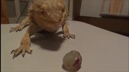 Брадат дракон яде грозде