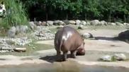 Безсрамният хипопотам