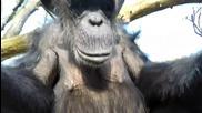 Шимпанзе сваля дрон с пръчка