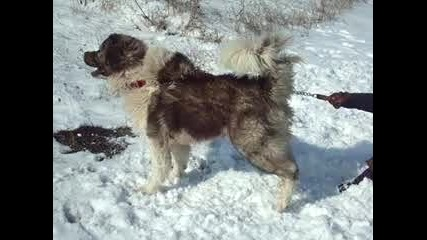 Кавказка Овчарка
