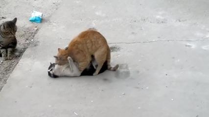 Котки демонстрират различни секс пози