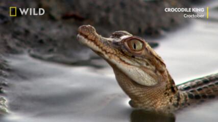 Малки крокодилчета | Croctober | NG WILD Bulgaria