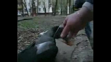 Руснаци напиват гарга