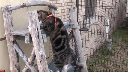 Шантаво дебело коте - Мару като Катерач