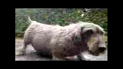 Най - Дебелото Куче В Света