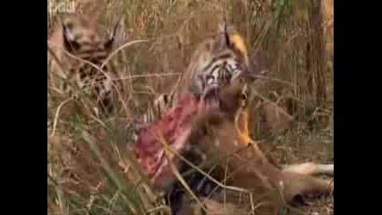 Bвс - - тигър убива мечка!