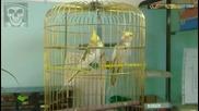 Мъжки папагал корела ухажва женска