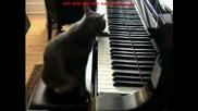 Котка Пианист