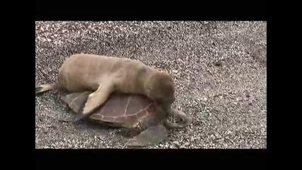 Малък морски лъв езда костенурка