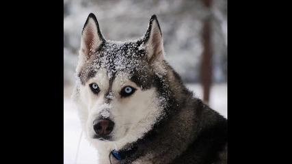 pate pe6o i tina - wolf