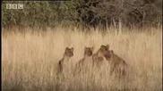 Bbc Хиени срещу Лъвове